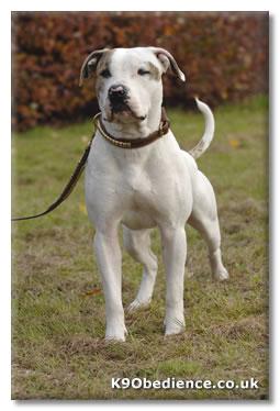 White English American Bulldog