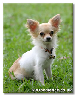 dogs videos news contact search cart chihuahua dog breed profile
