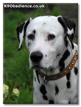 Dalmatian Dog Breed Profile - Size, Weight, Temperament ...