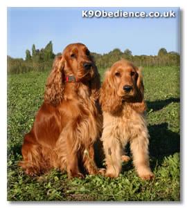 English Cocker Spaniel Dog Breed Profile Size Weight Temperament