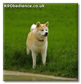 Japanese Akita Dog Breed Profile - Size, Weight, Temperament, Coat ...
