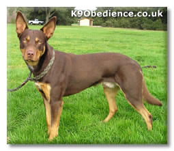 how much exercise does an australian kelpie need