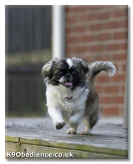 Pekingese Dog Breed Profile - Size, Weight, Temperament, Coat ...