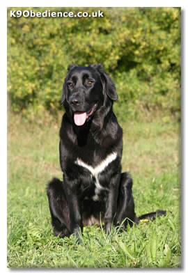 Hovawart Dog Breed Profile Size Weight Temperament