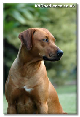 The Rhodesian Ridgeback Gets Its Distinctive Reverse Hair Coat From South African Khoikhoi Dog Other Names Lion