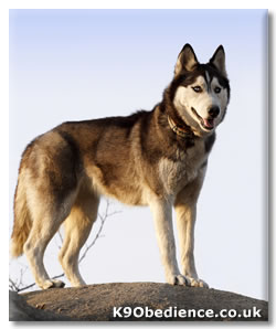 Siberian Husky Dog Breed Profile Information